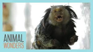 Marmoset - Planet of the... Monkeys? Human gene expands Neo-Cortex of Marmosets in lab trials - Human Evolution News - 1