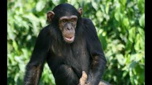 Chimps » Geneticist Dr. Shi Huang: Africans closer genetically to Chimpanzees than Eurasians » Human Evolution News » 3
