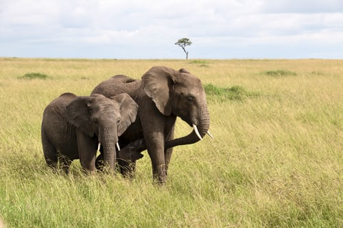 ElephantsCraigStephensUplash » Africa's explosive population growth, pushing endangered Elephants towards extinction » Human Evolution News » 6