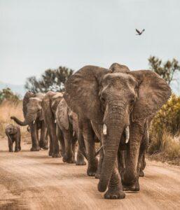 ElephantsRedCharlie » Africa's explosive population growth, pushing endangered Elephants towards extinction » Human Evolution News » 1